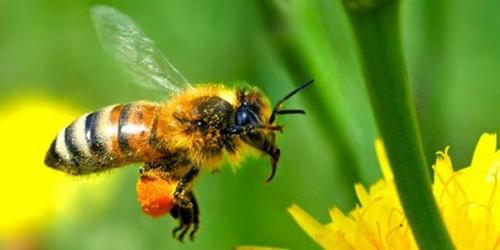 Información sobre el abeja 1