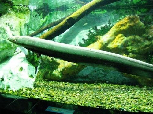 Información sobre el anguila electrica 2