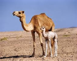 Información sobre el camello 3