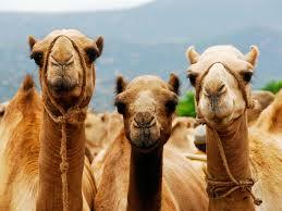 Información sobre el camello 4