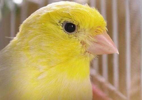 Información sobre el canario 4