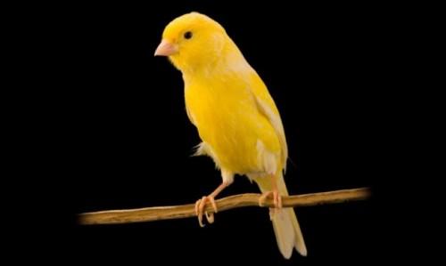 Información sobre el canario 5