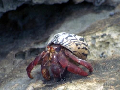 Información sobre el cangrejo ermitaño 5