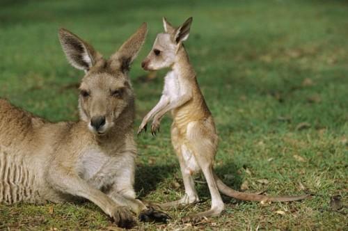 Información sobre el canguro 3