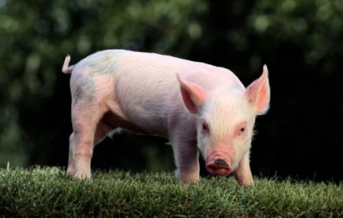 Información sobre el cerdo 1