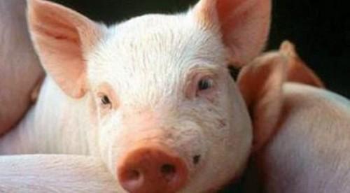 Información sobre el cerdo 4