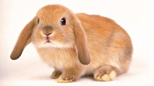 Información sobre el conejo 2