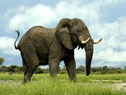 Información sobre el elefante 1
