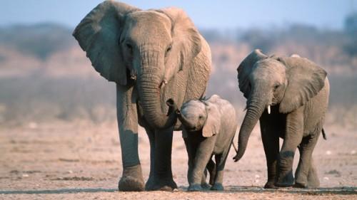Información sobre el elefante 5
