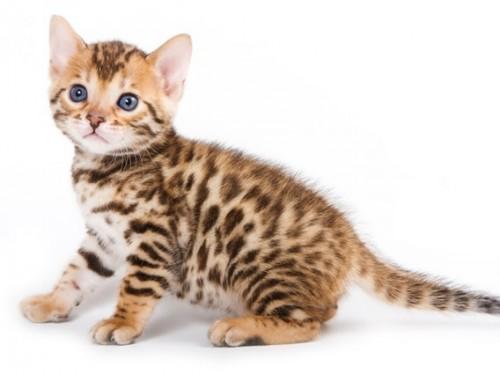 Información sobre el gato 1