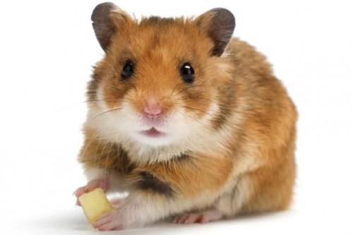 Información sobre el hamster 1