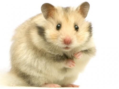 Información sobre el hamster 2