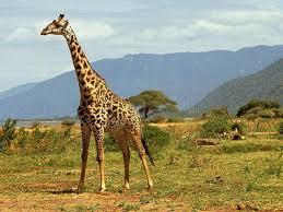 Información sobre el jirafa 1