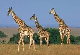 Información sobre el jirafa 2