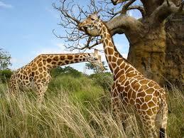 Información sobre el jirafa 3