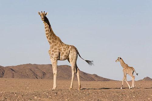 Información sobre el jirafa 4