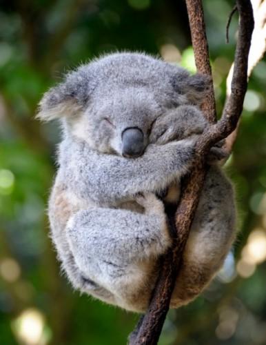 Información sobre el koala 1