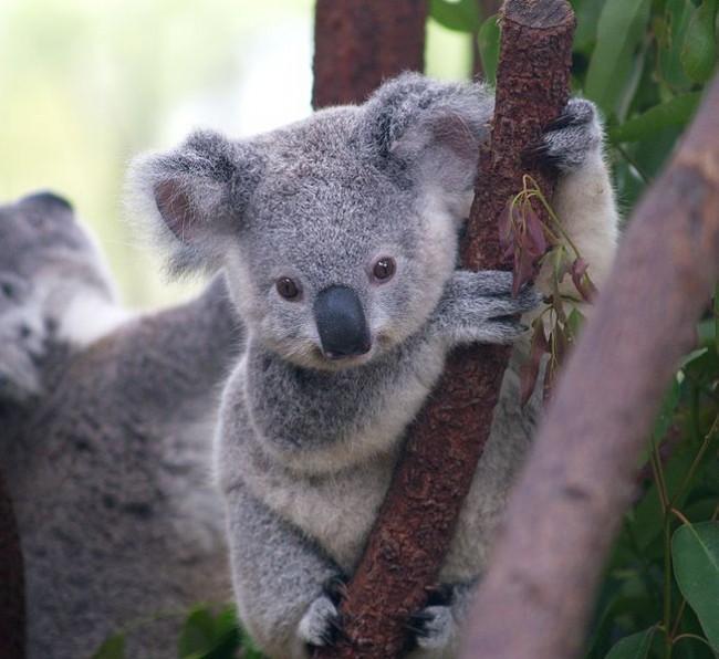 Informaci n sobre el koala informacion sobre animales - Informacion sobre el eucalipto ...