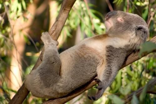 Información sobre el koala 3