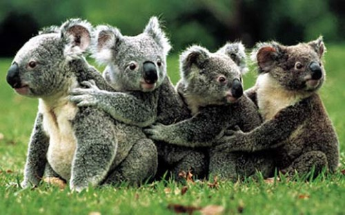 Información sobre el koala 4