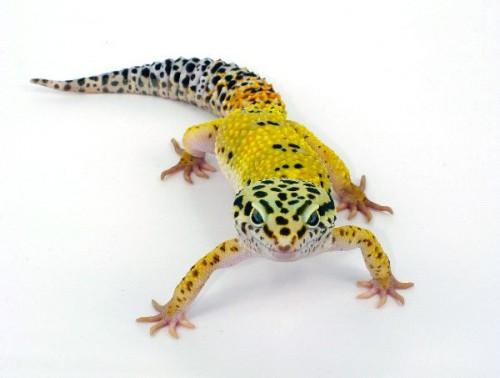 Información sobre el lagarto de gecko 1