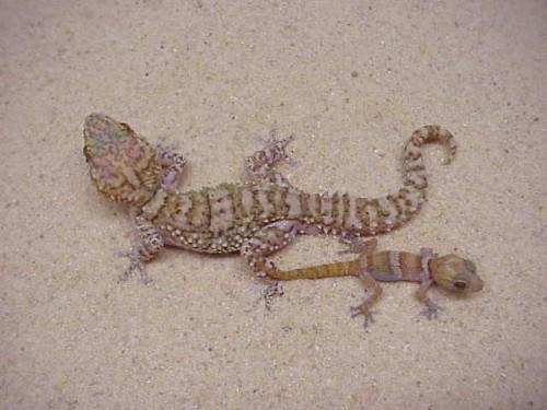 Información sobre el lagarto de gecko 2