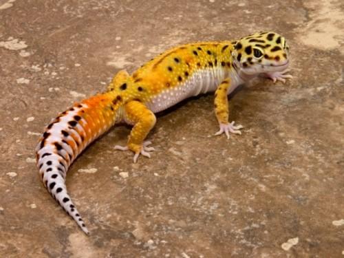 Información sobre el lagarto de gecko 3