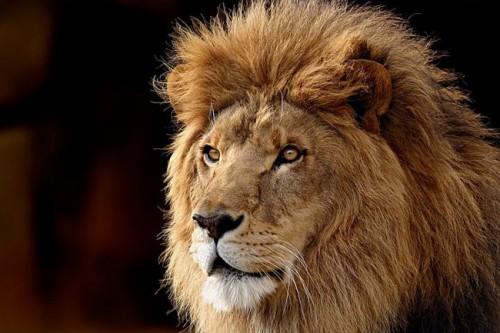 Información sobre el león 1
