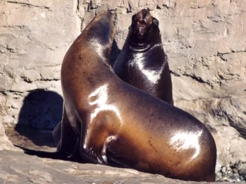 Información sobre el leon marino 1