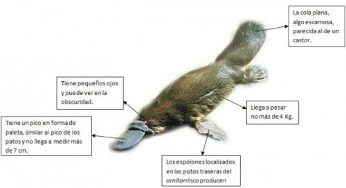 Información sobre el ornitorrinco 3