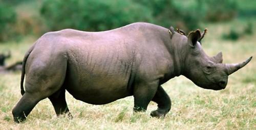Información sobre el rinoceronte 1