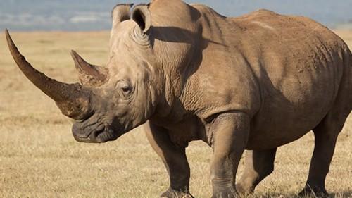 Información sobre el rinoceronte 2