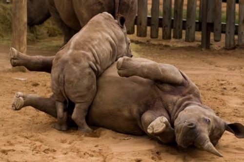 Información sobre el rinoceronte 3