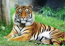Información sobre el tigre 1