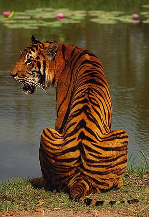 Información sobre el tigre 3