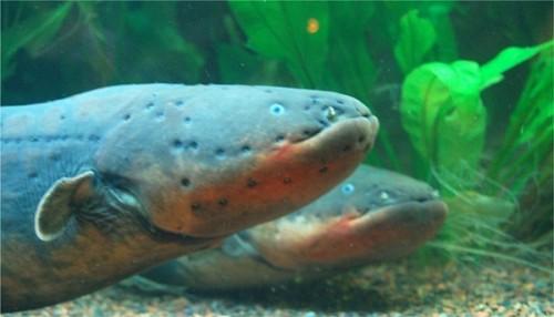 Información sobre la anguila electrica 1