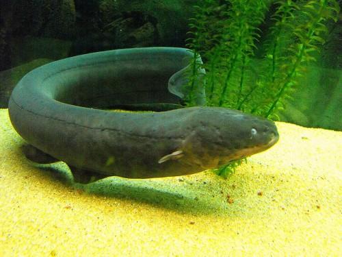 Información sobre la anguila electrica 4