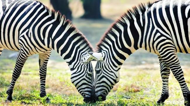 Zebra O Cebra Yahoo Información so...
