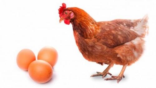 Información sobre la gallina 3