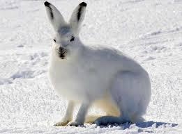 Información sobre la liebre ártica