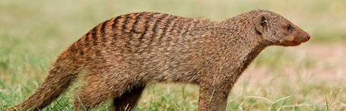 Información sobre la mangosta 1