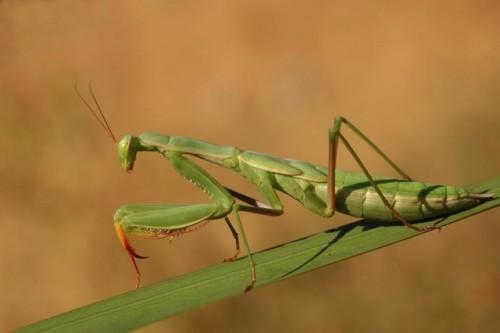 Información sobre la mantis religiosa 3