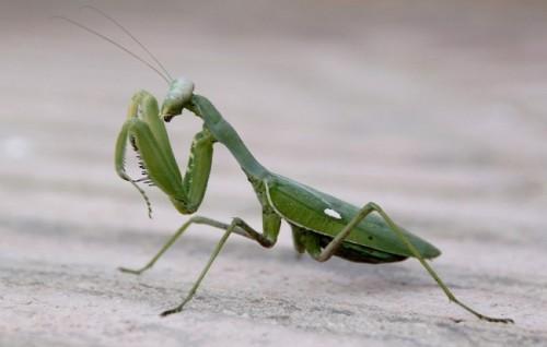 Información sobre la mantis religiosa 4