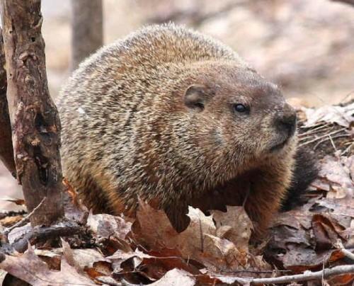 Información sobre la marmota canadiense 1