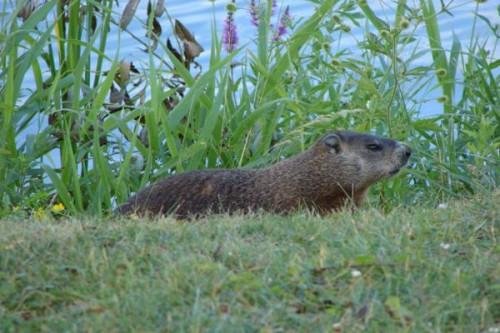 Información sobre la marmota canadiense 2