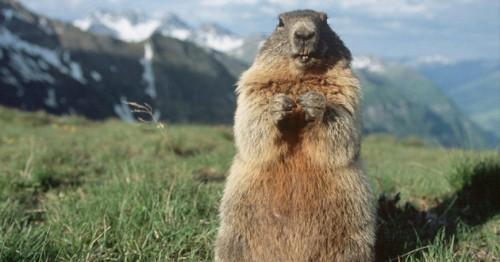 Información sobre la marmota canadiense 3