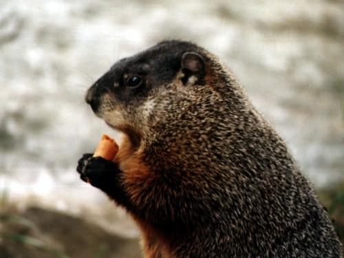 Información sobre la marmota canadiense 4
