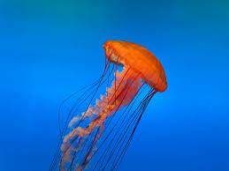 Información sobre la medusa 3