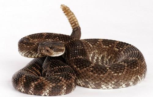 Información sobre la serpiente de cascabel 1