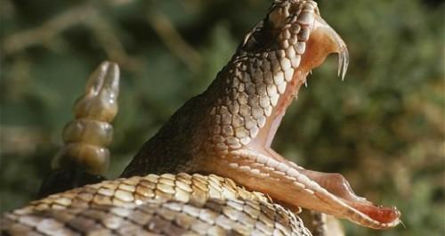 Información sobre la serpiente de cascabel 2